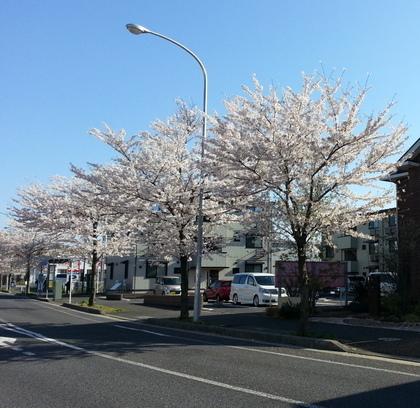 20140404_sakura (1).JPG