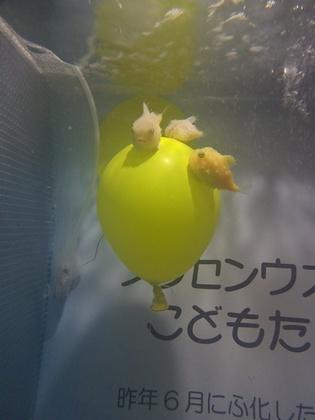 フウセンウオ (1).JPG
