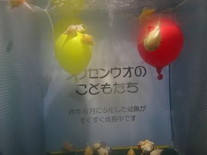 フウセンウオ (3).JPG